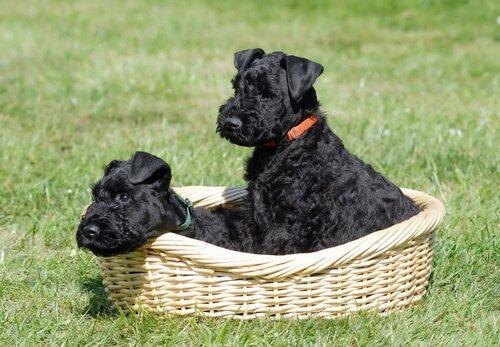 Cães da raça Terrier