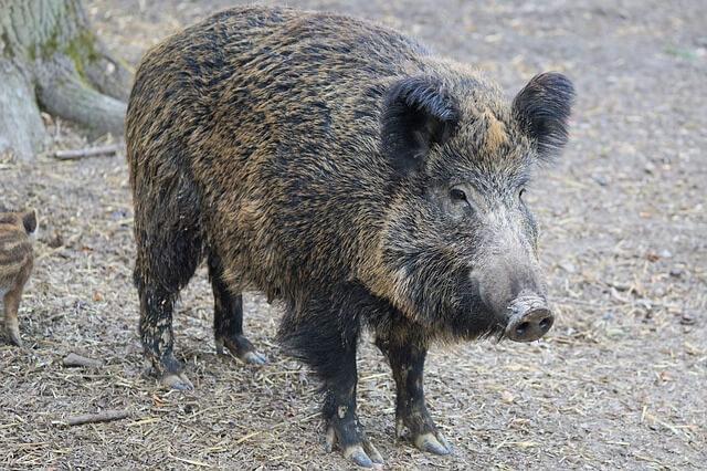 Javali: um dos animais rizófagos