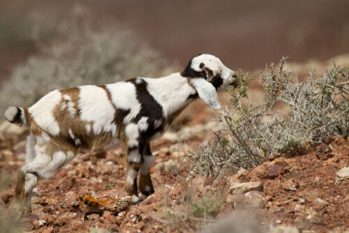 As cabras majoreras