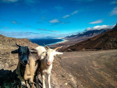 Cabras nas Ilhas Canárias