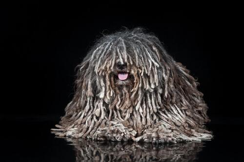 Cão da raça Puli