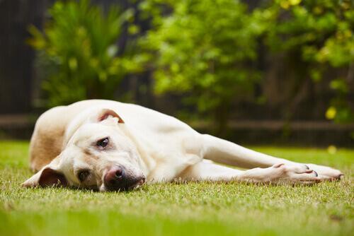 Cachorro estressado na grama