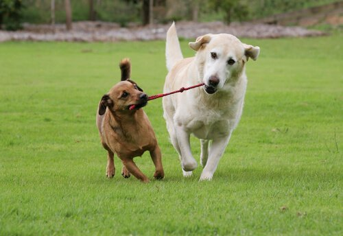 Cachorros brincando com corda