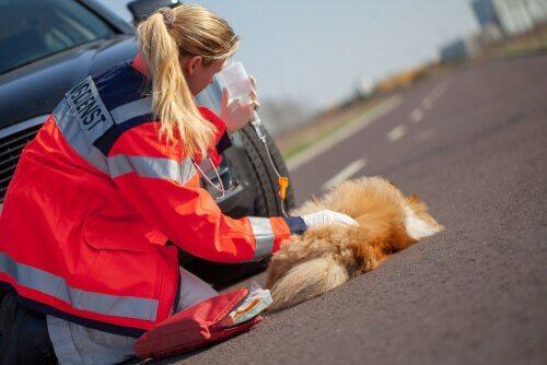 cão atropelado recebendo primeiros socorros