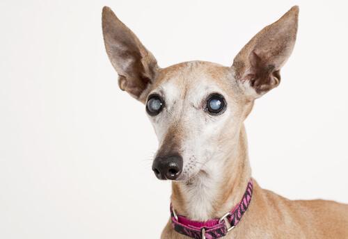 Cão com glaucoma