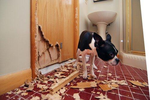 cachorro ao lado de pedaços de madeira tirados de uma porta
