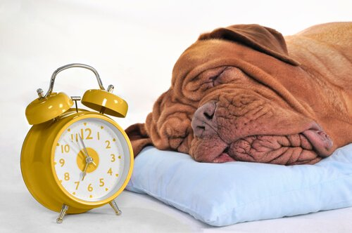 Cão dormindo ao lado de despertador amarelo