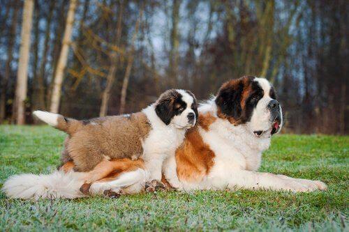cães São Bernardo