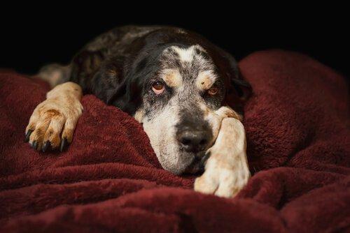 Cachorro deitado em veludo vermelho