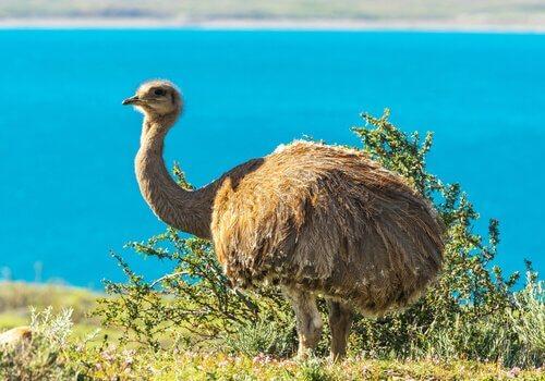 Ema: um dos animais que vivem em pastagens