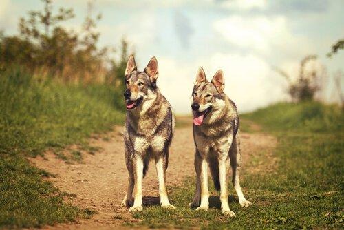 Cão lobo checoslovaco: origens