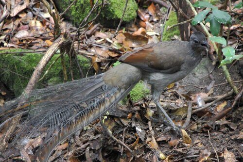 As incríveis habilidades do pássaro-lira soberba