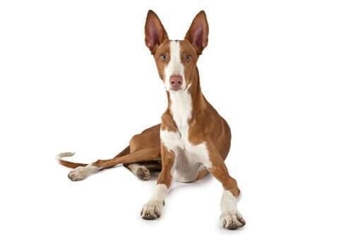 Quantos tipos de cães podengo existem?