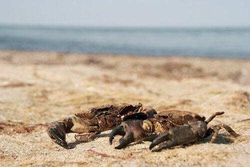 Diferenças entre caranguejo e navalheira
