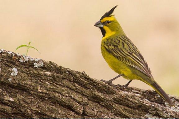 O canto doce e melancólico do cardeal-amarelo