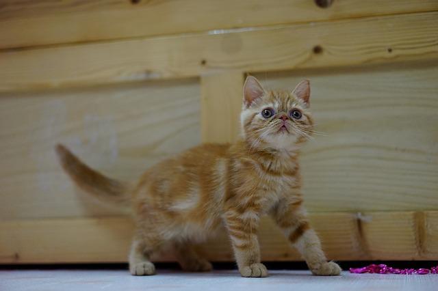Filhote de gato exótico