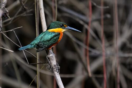 Martim-pescador-anão