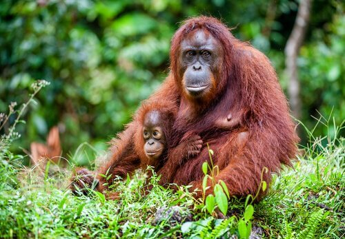 Mãe orangotango com filhote