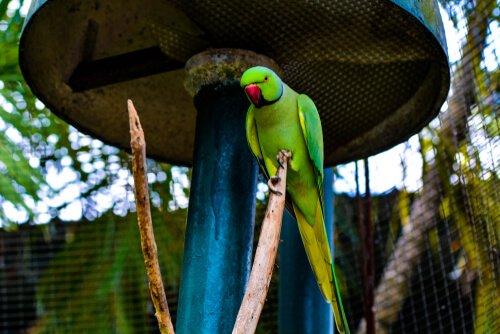 Papagaios ameaçados pelo comércio de animais exóticos