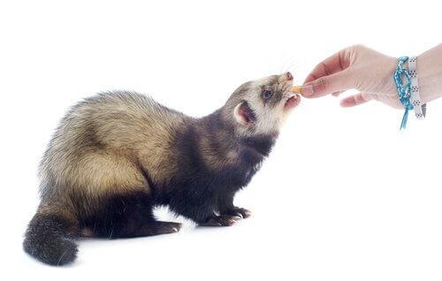 Furão comendo petisco