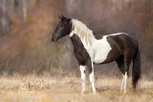 Cavalo malhado