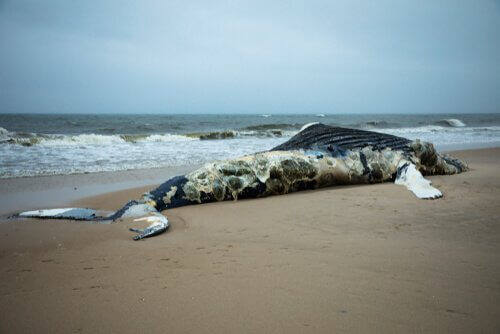Baleia encalhada na praia