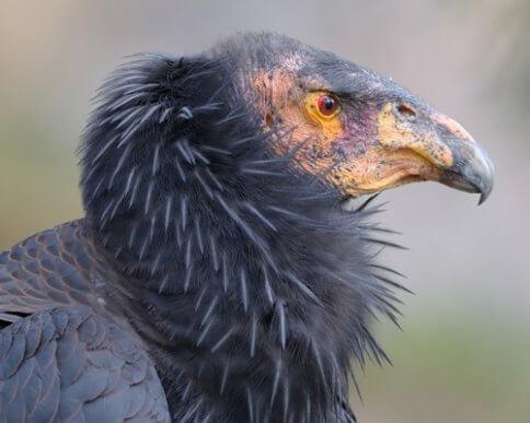Condor-da-Califórnia: seu papel na limpeza