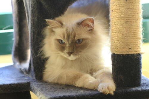 Dicas para seu gato usar um arranhador