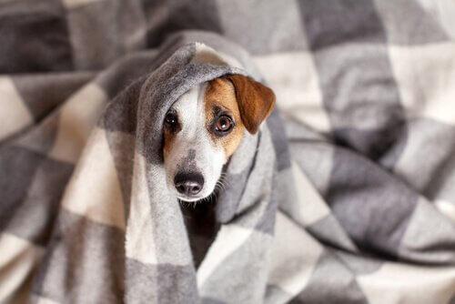 Coronavírus canino: sintomas e tratamento