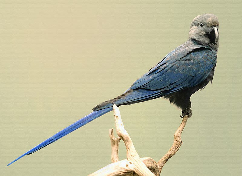 Ariranha-azul