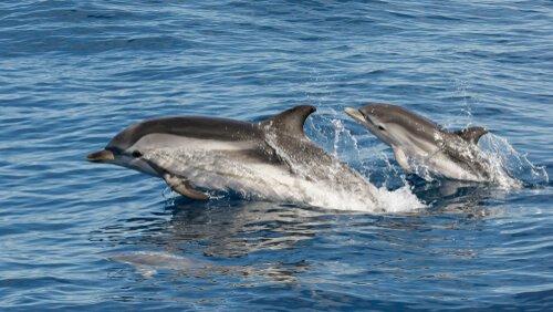 Golfinho listrado