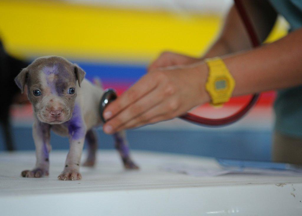 A cinomose canina pode ser contraída mesmo após o cão ser vacinado?