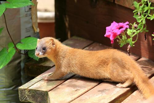 Doninha siberiana, uma das espécies de doninhas