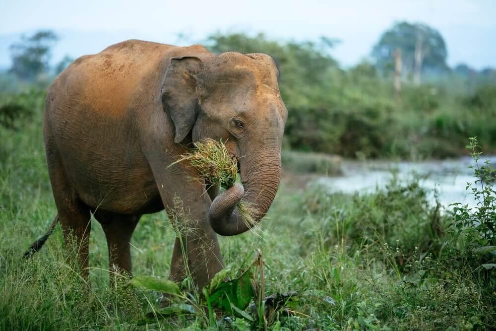 Elefante herbívoro