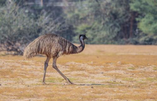 5 animais endêmicos da Austrália