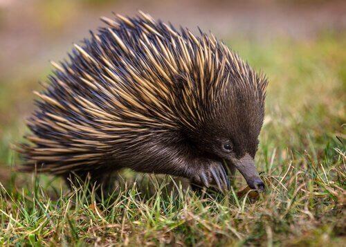 animais da australia equidna australiano