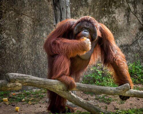 Orangotango comendo