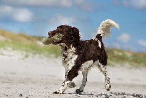 Cachorro na praia carregando algo na boca