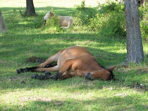 Image result for cavalo deitado