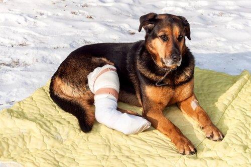 cão com a pata fraturada e enfaixada