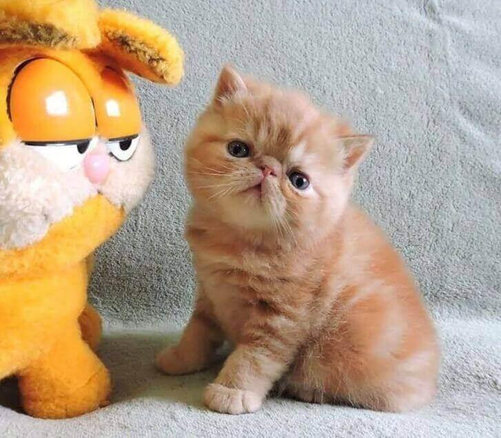 Gatinho parecido com Garfield