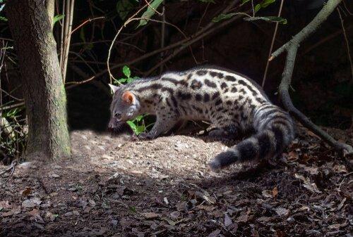 Gineta, uma caçadora solitária que lembra um gato doméstico