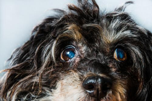 Glaucoma em cães: sintomas e tratamentos