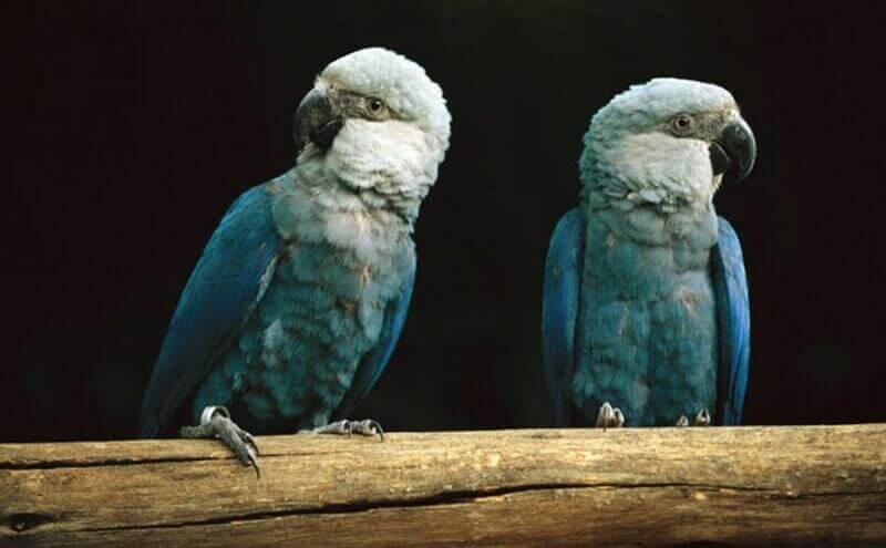 Ararinha-azul: o pássaro do filme Rio não está extinto