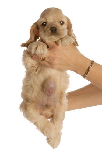 Hérnia umbilical em filhotes de cães