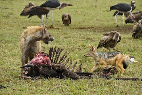 hiena come carniça