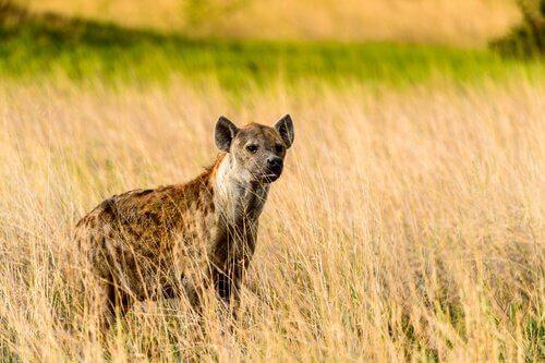 Por que não existem hienas na Europa?