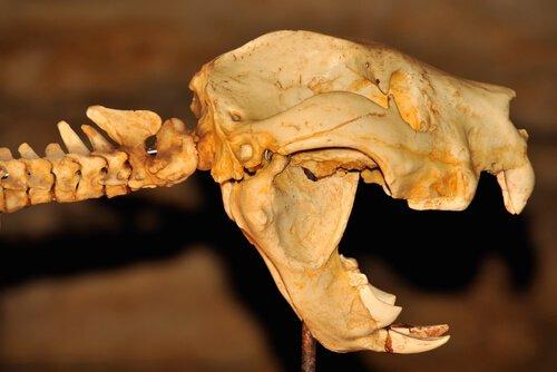 Fóssil do leão-marsupial