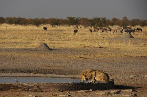 Leão no deserto