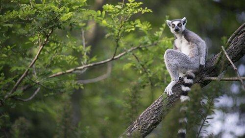 lemures de madagascar